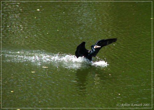 K-Great Cormorant Landing