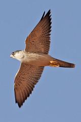 032054-IMG_4813 Grey Falcon (Falco hypoleucos) (ajmatthehiddenhouse) Tags: greyfalcon grayfalcon falcohypoleucos falco hypoleucos sa southaustralia bird 2007 australia globalbirdtrekkers