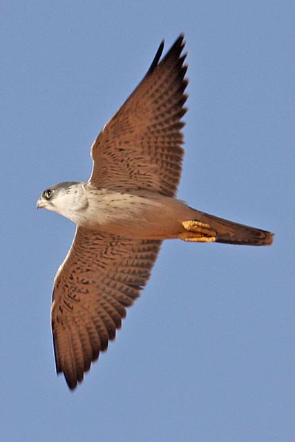 032054-IMG_4813 Grey Falcon (Falco hypoleucos)