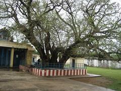 The sacred 2500 years old Eranzhil Tree (Raju's Temple Visits) Tags: favourite ankola chinnakavanam nootreteeswarar nootreteswarar eranzhil azhinzhil