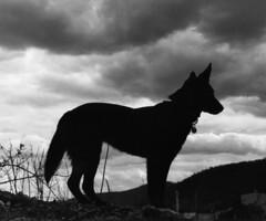 kelpie-silhouette.jpg (cskk) Tags: blackandwhite dog black silhouette tl dusk practica australian australia super greysky kelpie supertl practicasupertl