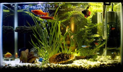 Bettas in a community aquarium my aquarium club for Bubbles in betta fish tank