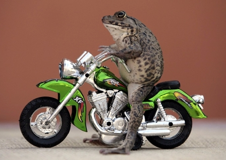 Frog Posing on Miniature Motorcycle