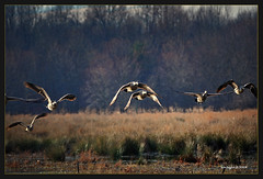 (Finiky) Tags: winter bird birds geese flight finiky birdsinflight waterfowl 2008 canadageese d3 huntleymeadows afewofmyfavoritethings