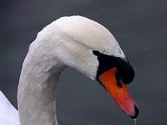 I'm hungry! (dolorix) Tags: bird nature swan natur schwan vogel brillianteyejewel naturewatcher theperfectphotographer