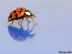 ladybugs 5 (*LINNY *) Tags: red insect spots ladybird ladybug spotted superbmasterpiece