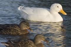 1 (steve.west22) Tags: duck nikon sigma d200 bishop 70200 burton stevewest
