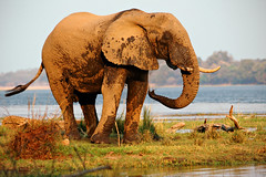 Big elephant by the Zambezi - Lower Zambezi national park - Zambia (PascalBo) Tags: africa elephant nature river outdoors bush nikon d70 wildlife rivière safari zambia zambezi afrique southernafrica eastafrica éléphant naturesfinest brousse zambie 123faves viesauvage lowerzambezi afriqueaustrale afriquedelest zambèze lowerzambezinationalpark lpflora pascalboegli