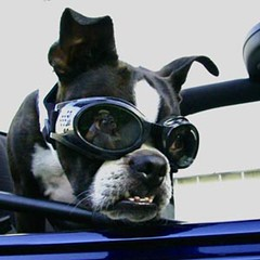 His Future is So Bright... ( Just me... ) Tags: boston bostonterrier terrier doggles