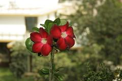 Exotic Flowers (Swami Stream) Tags: flowers red india closeup canon rebel bangalore karnataka swami adenium swaminathan banaglore ulsoor bengaluru xti balciny exitic swamistream swamistreamcom
