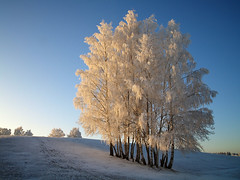Winter Birches (Krogen) Tags: trees winter norway landscape norge vinter norwegen noruega scandinavia akershus desember romerike krogen landskap trr noorwegen noreg ullensaker skandinavia nordbytjernet olympuse400 isawyoufirst diamondclassphotographer flickrdiamond