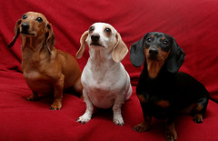 Pepper, Levi and Mocha (geckoam) Tags: dog pet love puppy pepper hotdog dachshund blackdog wiener mocha levi piebald reddog wienerdog dackel teckel doxie whitedog golddragon