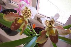 Paph. (barbigerum x Winston Churchill) (dwittkower) Tags: orchid flower flora orchids orchidaceae paph slipper orquideas ladyslipper paphiopedilum orchidée ladysslipper slipperorchid orqudea
