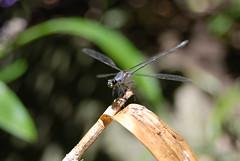 Damselfly at Waterfall Cottage (The Michael Howard) Tags: closeup insect wings nikon australia bayview damselfly odonata northernbeaches zygoptera d80 waterfallcottage