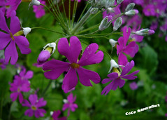 little purple (coco_tsukihime) Tags: smrgsbord goldenglobe aplusphoto megashot flowerwatcher excellentsflowers natureselegantshots mimamorflowers