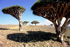 Socotra - Dragon's Blood tree by Valerio Pandolfo
