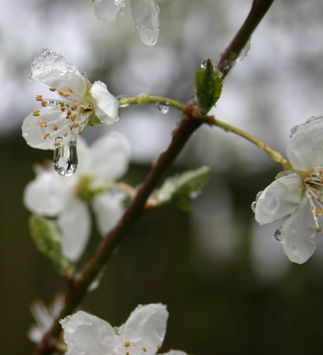 snow on blossoms 3