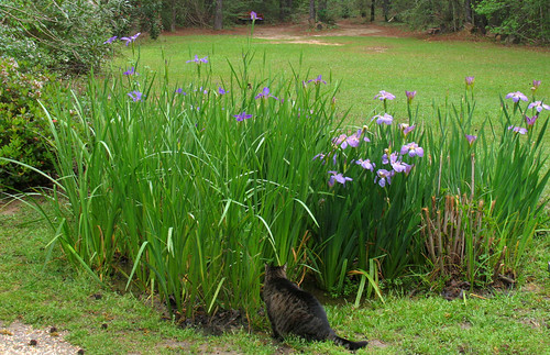 Priscilla and the purple irises - March 30, 2008