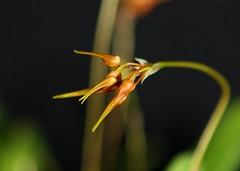 Bulbophyllum taiwanense_01