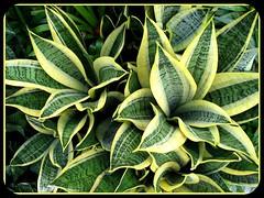 Sansevieria trifasciata 'Golden Hahnii' (Golden Birdnest Sansevieria) in our garden