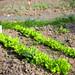 Batavia lettuce bulking out