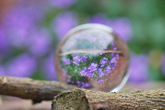purple reflection... (tatyveli) Tags: flowers flower reflection green ball branch purple crystal soe tatiana purpleflowers glassball crystalsphere nikond60 flickrsbest golddragon ysplix theunforgettablepictures brillianteyejewel flickrslegend macromarvels theperfectphotographer nikor105mm tatyveli rubyphotographer