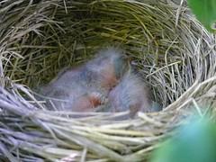 ooooohhhhh, babies... baby robins...