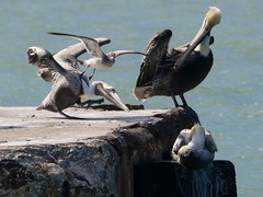 AMC_170112_FZ60777 (Paint and Shoot) Tags: animal belize belizecity bird pelican