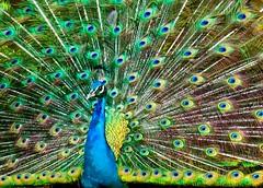 """Explosion of Color"" (Alfredo11) Tags: blue naturaleza colour verde green bird nature colors azul beak feather peacock colores ave pico pluma tones wmp pavoreal plumage brillant tonos plumaje nikoncreativelightingsystem nikon1755mm28 sb900 nikond300"