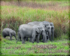 Assam ellies (JuttaMK) Tags: park india asian nat species elephants endangered assam kaziranga specanimal vosplusbellesphotos mauekay