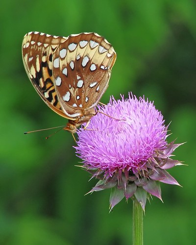 Great Spangled Fritillary - first of the year