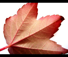 Blood flow of autumn (tad2106) Tags: autumn red color colour canon back leaf quote ixus whitebackground frame veins virginiacreeper canonixus redlines georgeeliot singleleaf macromonday 7daysofshooting