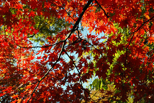 Fall Foliage, near Aeryeonji Pond, Changdeokgung Palace