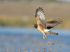 Northern Harrier (Random Images from The Heartland) Tags: chris southdakota inflight hawk aves raptor bailey wetlands prairie chrisbailey northernharrier circuscyaneus prairiepothole specanimal avianexcellence chrisbaileyimages