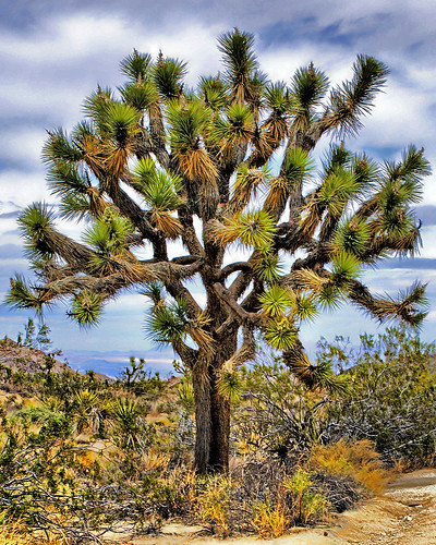 THE AMAZING JOSHUA TREE