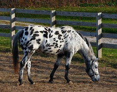 Dalmation Horse (cindy47452) Tags: lawrencecounty indiana horse spots white black dalmation equine abigfave 100views appaloosa 200views 300views 400views 500views 600views 700views horsesrule 800views 900views 1000views 1100views 1200views 1300views galope 1400views 1500views 1600views cotcmostinteresting 1700views 1800views 1900views 2000views 2100views 2200views 2300views 2400views 2500views 2600views 2700views