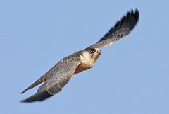 032054-IMG_4864 Grey Falcon (Falco hypoleucos) (ajmatthehiddenhouse) Tags: greyfalcon grayfalcon falcohypoleucos falco hypoleucos sa southaustralia bird 2007 australia globalbirdtrekkers