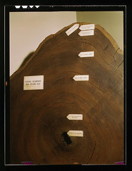 Virgin redwood, 864 years old  (LOC) (The Library of Congress) Tags: wood old columbus tree history vintage ancient time forestry timber slidefilm ring naturalhistory rings 1940s muirwoods treetrunk age dating transparency trunk timeline labels 4x5 lf libraryofcongress redwood redwoods 1942 hastings lc treering section largeformat worldwar crosssection treerings transparencies livinghistory dendrochronology growthrings worldwar19391945 sequoiasempervirens sawn 864 annuli johnvachon xmlns:dc=httppurlorgdcelements11 dc:identifier=httphdllocgovlocpnpfsac1a35447 virginredwood864yearsold geo:lat=37882509 virginredwood printsandphotographs farmsecurityadministrationofficeofwarinformationcollection1200259dlc93845501 lcusw36954 geo:lon=122574313 agingtrees