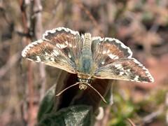 Muschampia proto - Sage Skipper (Peter M Greenwood) Tags: skipper butterflies sage mariposas proto hesperiidae sageskipper muschampiaproto muschampia wwwnkisinfoflickr0066z2949 wwwnkisinfoflickr0066z2950