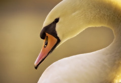 Curvature (left-hand) Tags: bird yellow neck swan beak curve birdwatcher theunforgettablepictures naturewatcher betterthangood tup2 life~asiseeit llovemypic goldenpalmaward