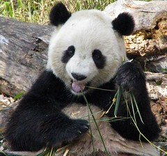Happy Snacks! (RoxandaBear) Tags: show winter animals smithsonian dc panda eating bamboo 45 tai dcist nationalzoo february 2008 22508 giantpandas blueribbonwinner commentonmycuteness betterthangood animalsinzoosandparks
