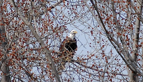Eagle.0405.1