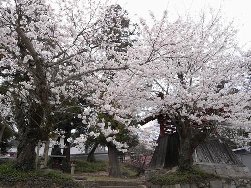 当麻寺(桜)-03