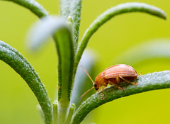 Leaf Beetle on Rosemary (olvwu | 莫方) Tags: usa macro ga georgia leaf rosemary savannah leafbeetle chrysomelidae jungpangwu oliverwu oliverjpwu supershot olvwu jungpang 莫方 吳榮邦
