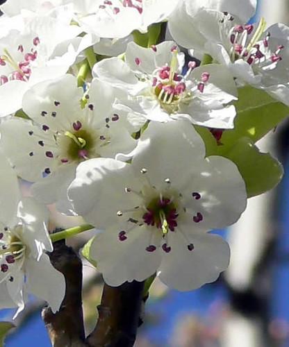 Peral de flor