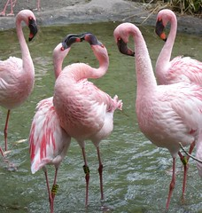 Haven't we told you that kissing is not allowed in public?!?! (baltic_86 (mostly off)) Tags: pink friends usa beautiful topv111 orlando florida flamingo 100v10f explore animales flickrcentral fabulous iq lesser animalkingdom waltdisney polaris thinkpink naturesfinest blueribbonwinner instantfave flickrnature rozowy flamingi mywinners abigfave i500290 platinumphoto polacyfotografujacy diamondclassphotographer flickrdiamond mypink birdsphotos freenature theunforgettablepictures goldstaraward photoexplore digipro natureselegantshots explorewinnersoftheworld yourcountry 100commentgroup baltic86