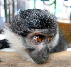 Watching...waiting...hoping... (law_keven) Tags: england animal monkey furry bravo waiting critter watching essex primate soe colchester colchesterzoo zoological specanimal animalkingdomelite anawesomeshot superbmasterpiece diamondclassphotographer superhearts theunforgettablepictures theperfectphotographer photoexel lhoestmonkey