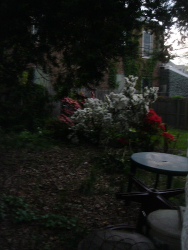 evening azaleas