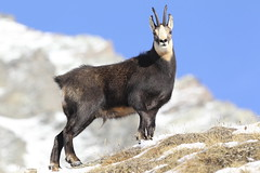 Camosci20 (Lunghefocali.snc) Tags: camoscio rupicaprarupicapra dolomiti valdifiemme trentino altamontagna biancoenero wildlife nature
