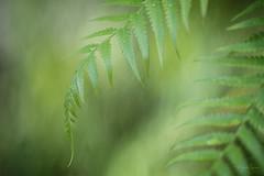 Green (michellelynn) Tags: green fern conservatory indoor texture depthoffield macro springcolors
